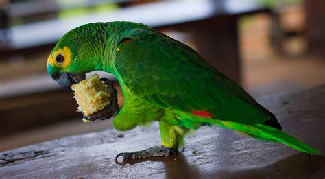 Como papagaios conseguem falar? - Revista Galileu | Ciência
