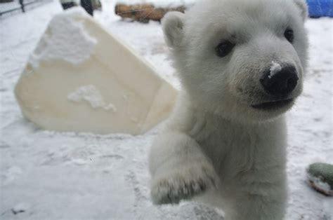 polar bear cub snow zoo toronto adorable