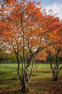 amelanchier lamarckii krentenboompje baumgarten