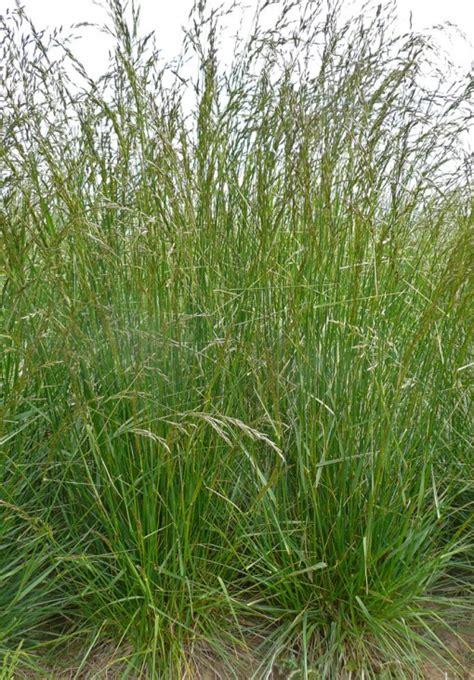 types of fescue grass schedonorus pratensis festuca pratensis meadow