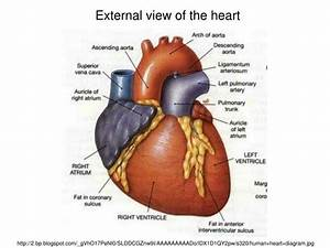 Ppt - How Your Heart Beats U2026 Powerpoint Presentation
