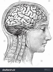 Human Brain Vintage Illustrations Die Frau Stock Vector ...