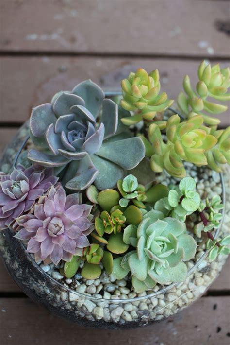 succulents   shallow glass bowl succulent pots