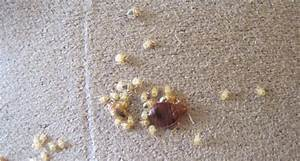 bed bug control what do bed bug eggs look like pictures With bed bug eggs on mattress