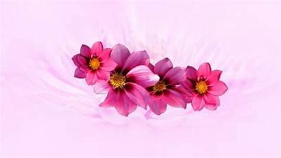Pink Dahlia Chromebook Laptop Wallpapers Flowers 4k