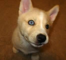 Corgi Husky Mix Puppies