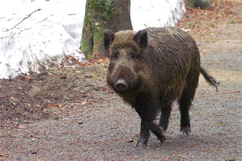 More Than One In Three Wild Boar In Germany Are Too