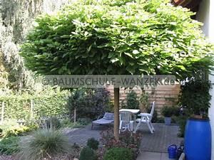 Kugel Trompetenbaum Schneiden : kugel trompetenbaum catalpa bignonioides 39 nana 39 kugel ~ Lizthompson.info Haus und Dekorationen