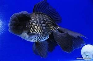 Images of Blue Oranda Goldfish - #Summer