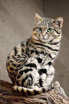 Tabby Cat Kittens
