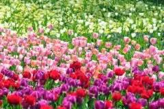 Welche Pflanzen Passen Gut Zu Hortensien : tulpen im topf so f hlen sie sich rundum wohl ~ Lizthompson.info Haus und Dekorationen
