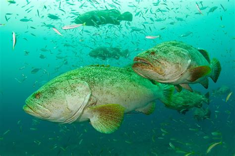 grouper goliath fish swimming super mizpah hover above current season shifting sometimes patterns between display different