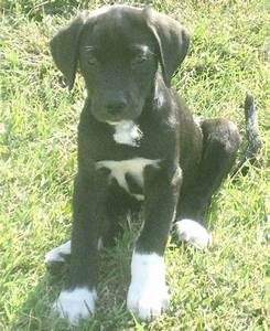 Irish Wolfhound Great Dane Mix Puppies