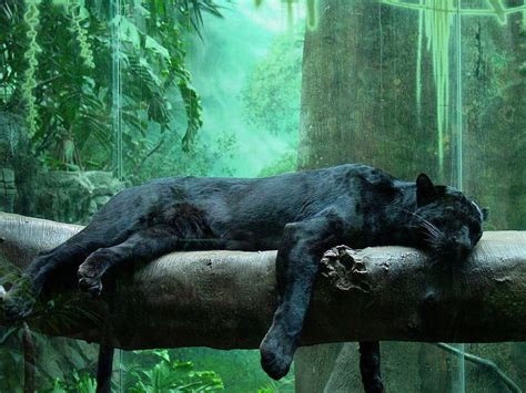 Pantera Animal Wallpaper - panther black leopard animals wiki pictures