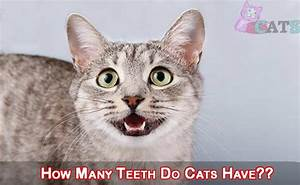 How Many Teeth Do Cats Have   How To Take Care Of Cats Teeth