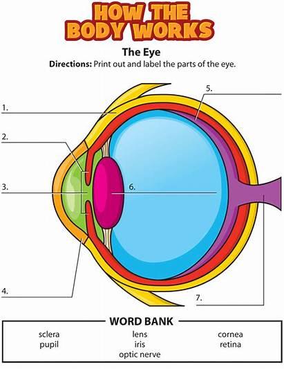 Eye Activity Eyes Science Human Health Anatomy