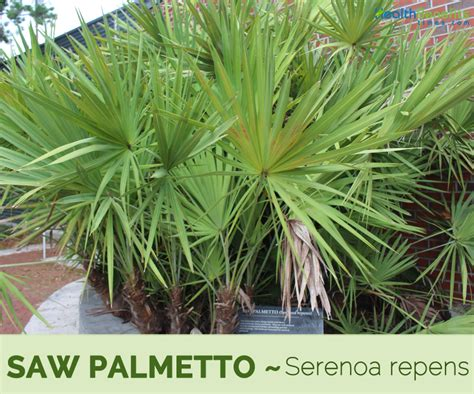 Saw palmetto facts and health benefits