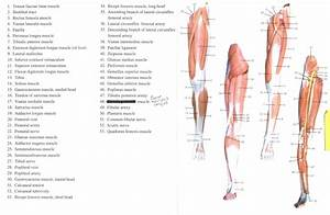 Diagram  Leg Muscle Diagram Labeled