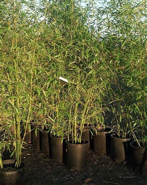 running bamboo nj bamboo landscaping