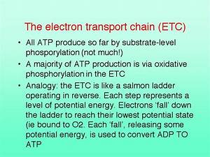 The Electron Transport Chain  Etc