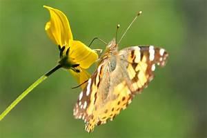 Schmetterling Am Kinderbett : schmetterling auf blume tierfoto ~ Lizthompson.info Haus und Dekorationen
