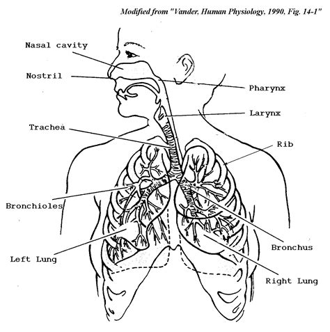 respiratory system coloring page cc classical