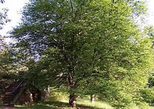 Hainbuche Baum Schneiden : hainbuche alle infos zum malerischsten heimischen baum ~ Watch28wear.com Haus und Dekorationen
