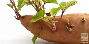Culture De La Patate Douce : podcast cultiver la patate douce jardins sur le c t ~ Carolinahurricanesstore.com Idées de Décoration