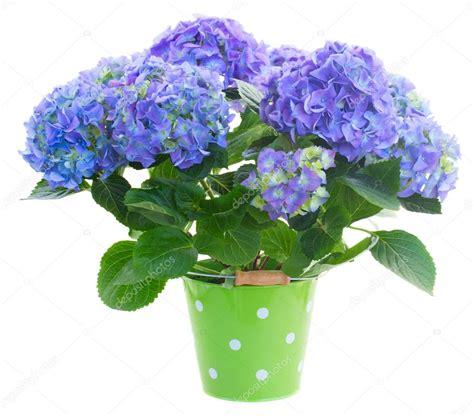 kit complet chambre de culture pas cher hortensia en pot entretien 28 images cultiver un