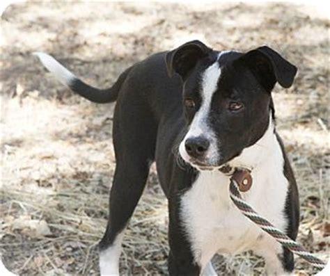 Jack Adopted Dog Sacramento Ca Border Collie