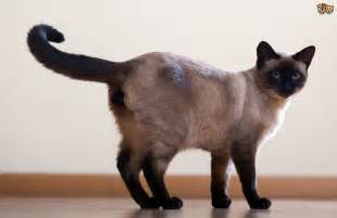and cat siamese cat breed information buying advice photos and