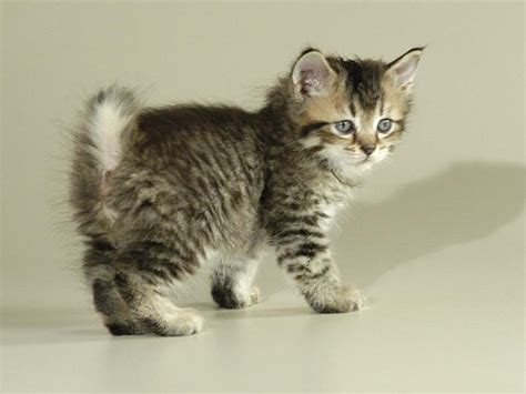 Pixie-Bob Cat Breed Info, History, Personality, Care