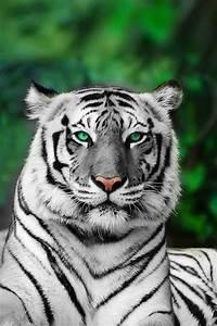 Albino Tiger | Tigers, fierce and wonderful | Pinterest ...