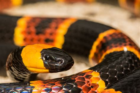 Venomous Snakes of the Everglades - Captain Mitch's ...