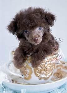 Teacup Puppies For Sale | Teacups, Puppies & Boutique