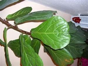 Zimmerpflanze Große Blätter : gro e zimmerpflanze welche wie schneiden ficus lyrata ~ Lizthompson.info Haus und Dekorationen