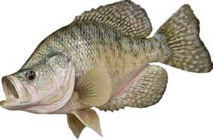 White Crappie Fish