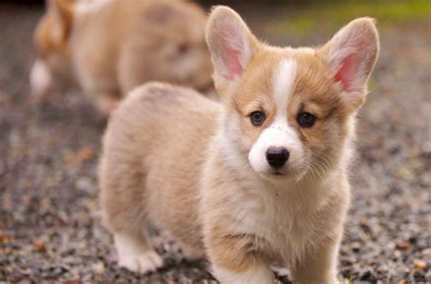 what dogs do not shed top 15 cutest small dogs that don t shed 187 teacupdogdaily