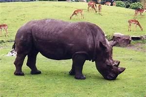 Endangered Species: Javan Rhinoceros