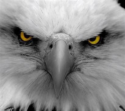 Eagle Angry Eyes Wallpapers Mad Vector