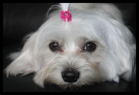 gorgeous maltese puppies  sale belfast  sale