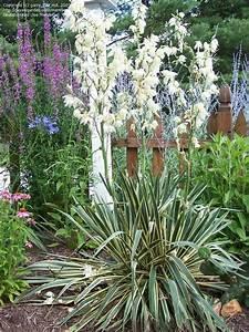 Palmlilie Bright Edge. yucca filamentosa 39 bright edge 39 ...