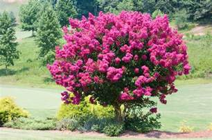 crape myrtles you won 39 t believe these different varieties fast growing trees