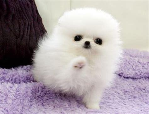 healthy teacup white pomeranian puppies  sale pets