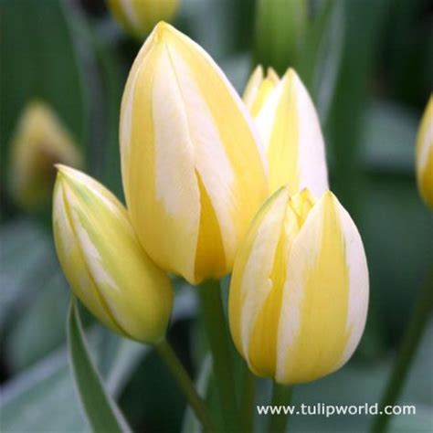 do tulips need sun or shade enjoy a mass of yellow tulips next spring when you plant