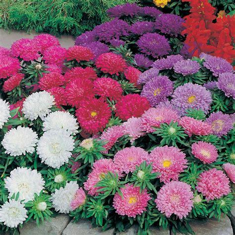 jual benih biji bunga aster colour carpet mixed hias