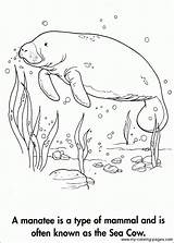 Manatee Coloring Pages Cow Manatees Adult Sea Books Dementia Animal Drawing Sheets Grade Alzheimers Drawings 3rd Printable Colouring Template Sketchite sketch template
