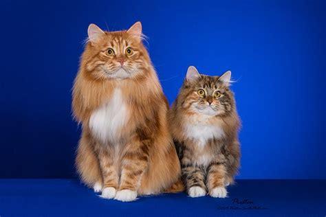 Basilic Blessing Siberian Cats