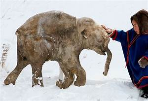 Ice, Ice Baby: Perfectly Frozen Mammoth