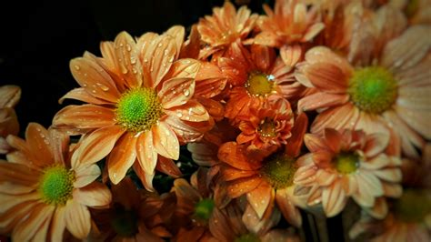 Malaysian Mums | Flower farm, Beautiful flowers, Petals